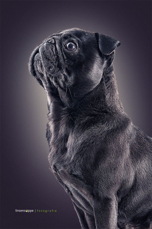 Impresive Dog Portraits Photography by Daniel Sadlowski Elegant Dog Portraits Photography by Daniel Sadlowski