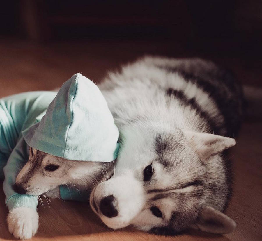 Adorable Huskies Photo with Human Clothes by Erica Tcogoeva Adorable Huskies Photo with Human Clothes by Erica Tcogoeva