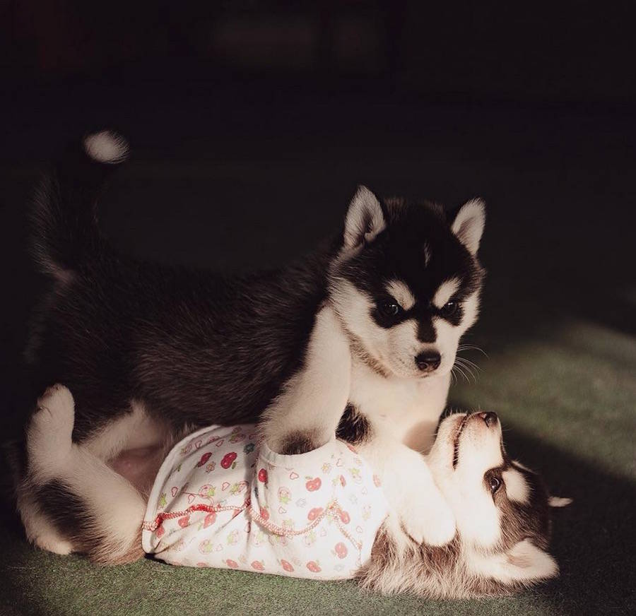 Adorable Huskies Photography by Erica Tcogoeva Adorable Huskies Photo with Human Clothes by Erica Tcogoeva