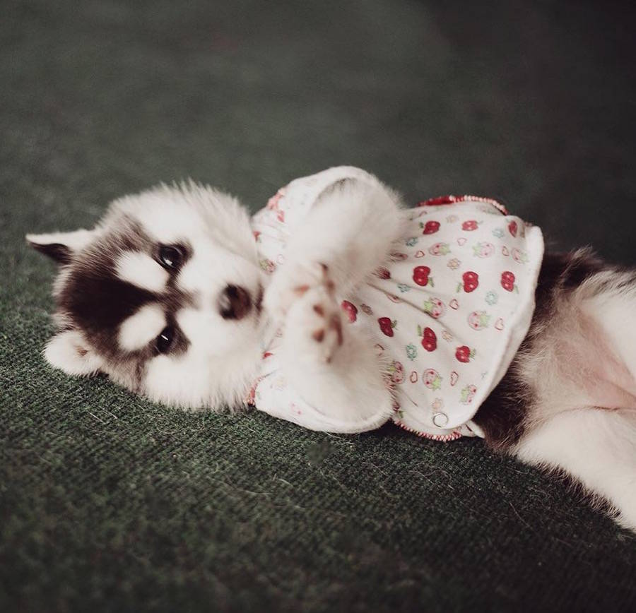Adorable Huskies Poses with Human Clothes by Erica Tcogoeva Adorable Huskies Photo with Human Clothes by Erica Tcogoeva