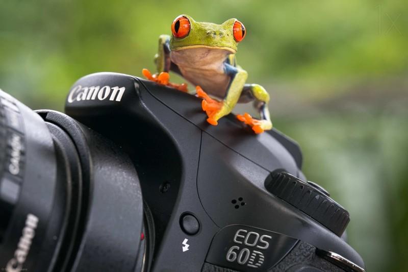 Beautiful macro photos of frog by Nicolas Reusens 2 Best Captured Photos of Frogs by Nicolas Reusens