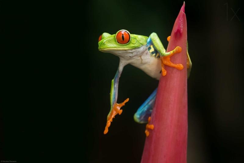 Beautiful macro photos of frog by Nicolas Reusens Best Captured Photos of Frogs by Nicolas Reusens