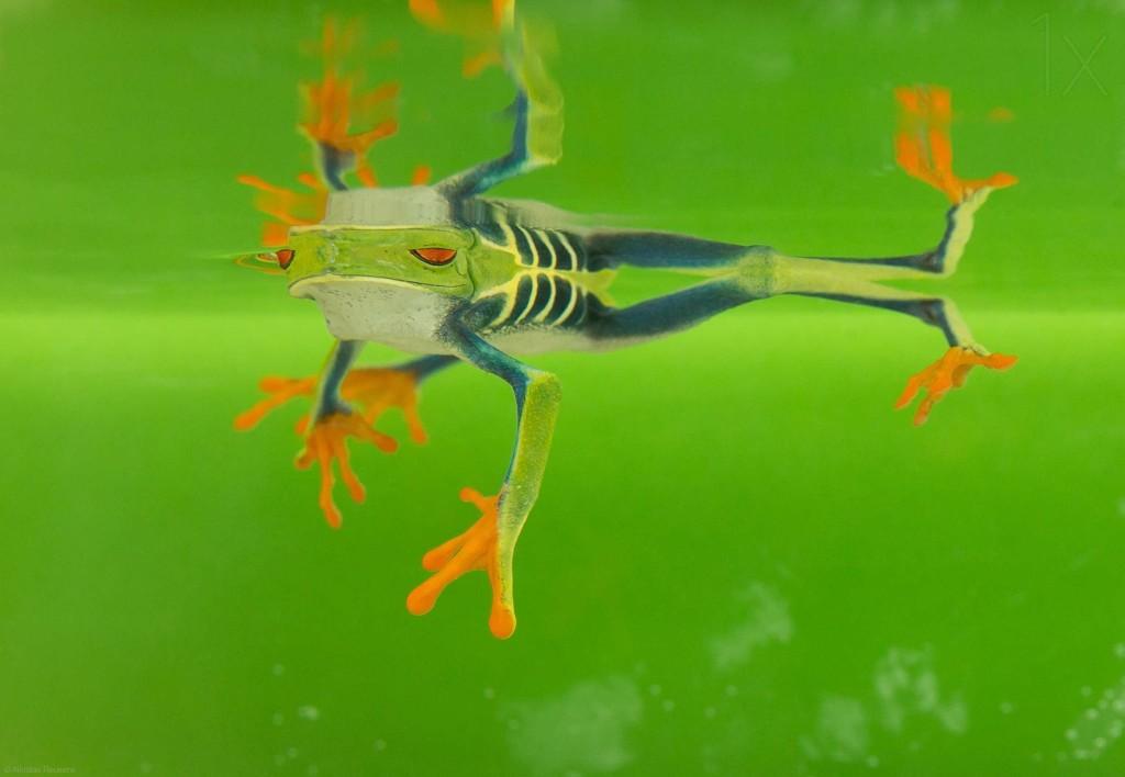 Best macro photos of frog by Nicolas Reusens 1024x708 Best Captured Photos of Frogs by Nicolas Reusens