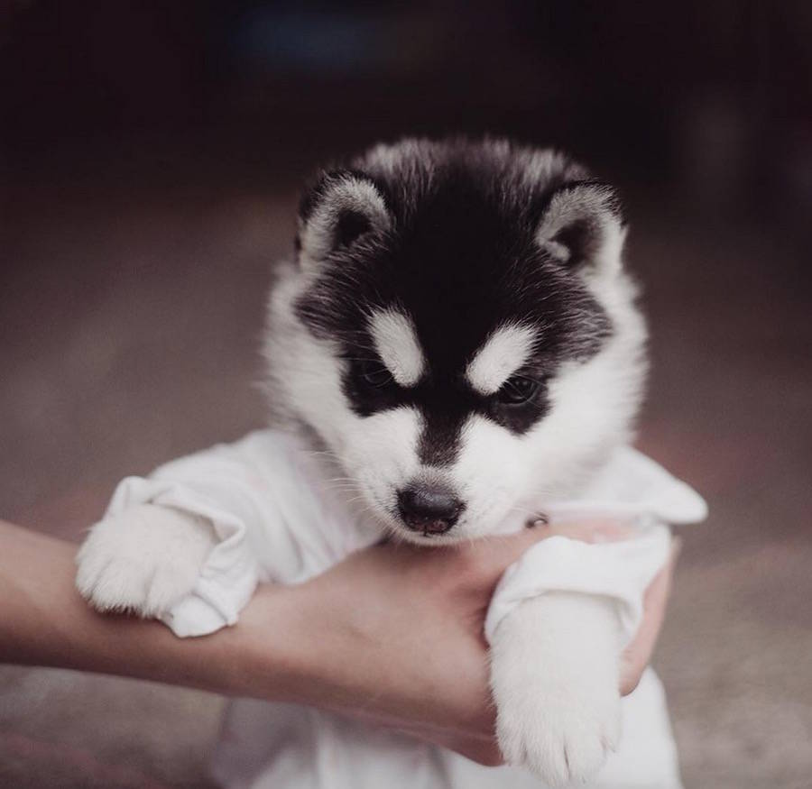 Cute Huskies Photo with Human Clothes by Erica Tcogoeva Adorable Huskies Photo with Human Clothes by Erica Tcogoeva
