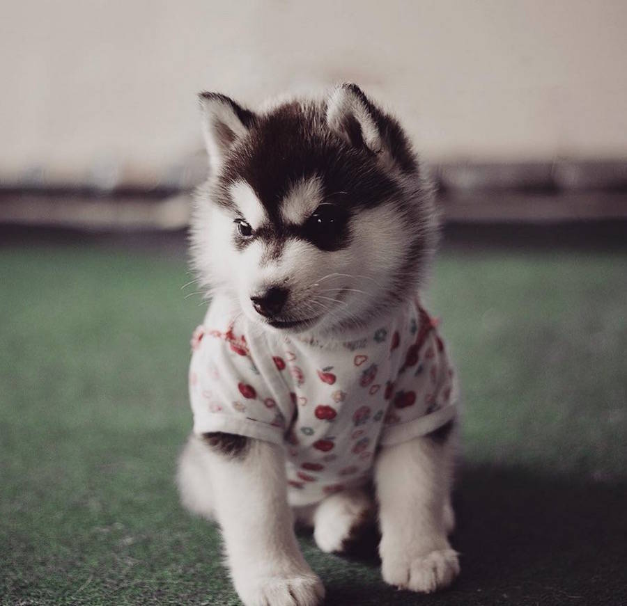 Cutennes Huskies Photo with Human Clothes by Erica Tcogoeva Adorable Huskies Photo with Human Clothes by Erica Tcogoeva