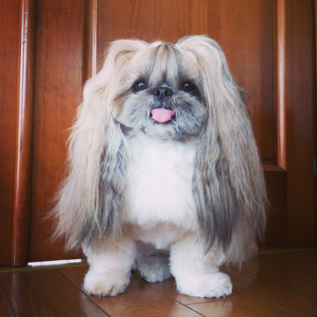 pekingese dog hairstyles kuma 13 The Most Fabulous Derpy Dog Hair on Instagram