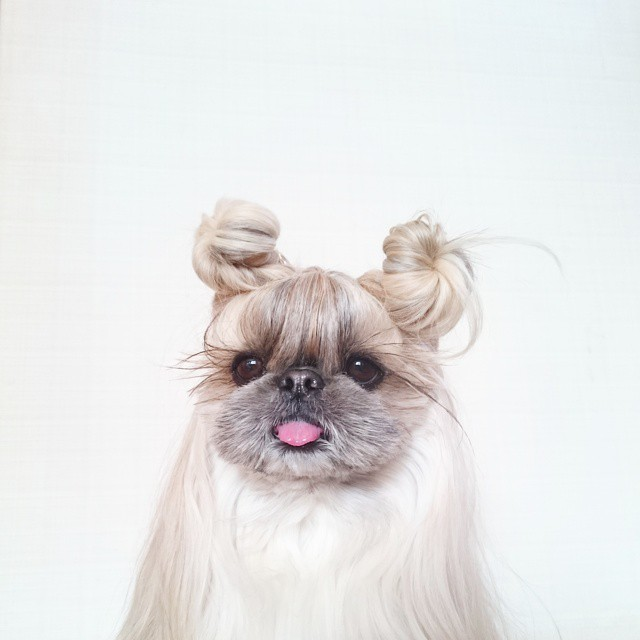 pekingese dog hairstyles kuma 22 The Most Fabulous Derpy Dog Hair on Instagram