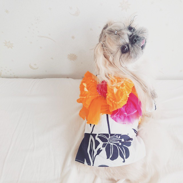 pekingese dog hairstyles kuma 24 The Most Fabulous Derpy Dog Hair on Instagram