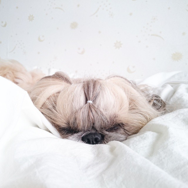pekingese dog hairstyles kuma 27 The Most Fabulous Derpy Dog Hair on Instagram