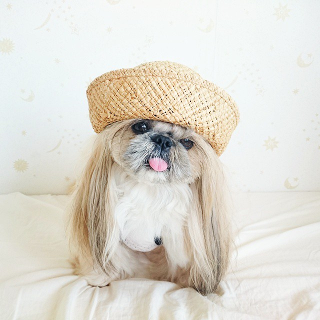 pekingese dog hairstyles kuma 33 The Most Fabulous Derpy Dog Hair on Instagram