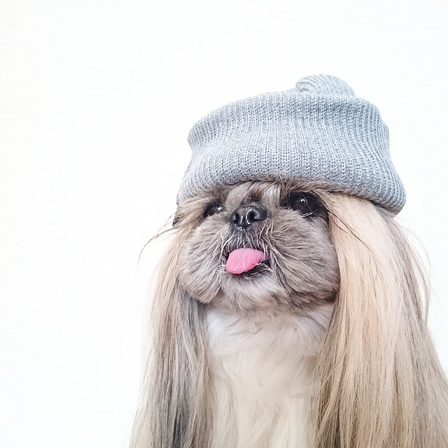 pekingese dog hairstyles kuma 37 The Most Fabulous Derpy Dog Hair on Instagram