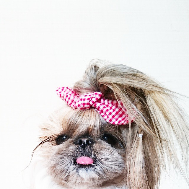 pekingese dog hairstyles kuma 39 The Most Fabulous Derpy Dog Hair on Instagram