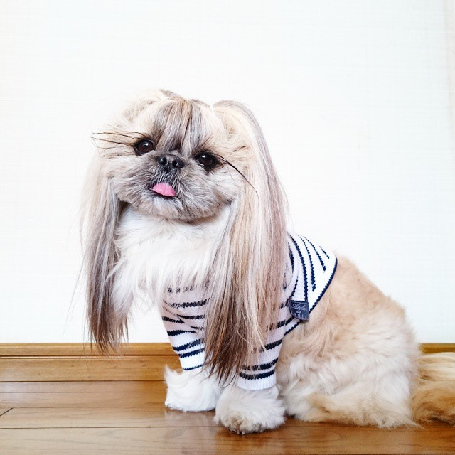 pekingese dog hairstyles kuma 44 The Most Fabulous Derpy Dog Hair on Instagram