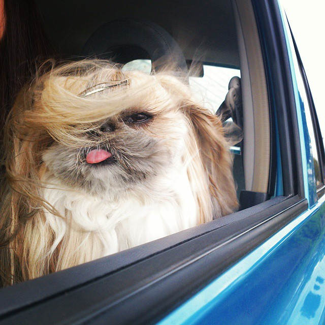 pekingese dog hairstyles kuma 46 The Most Fabulous Derpy Dog Hair on Instagram
