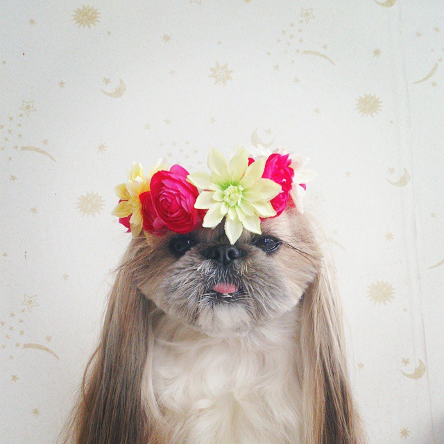 pekingese dog hairstyles kuma 6 The Most Fabulous Derpy Dog Hair on Instagram