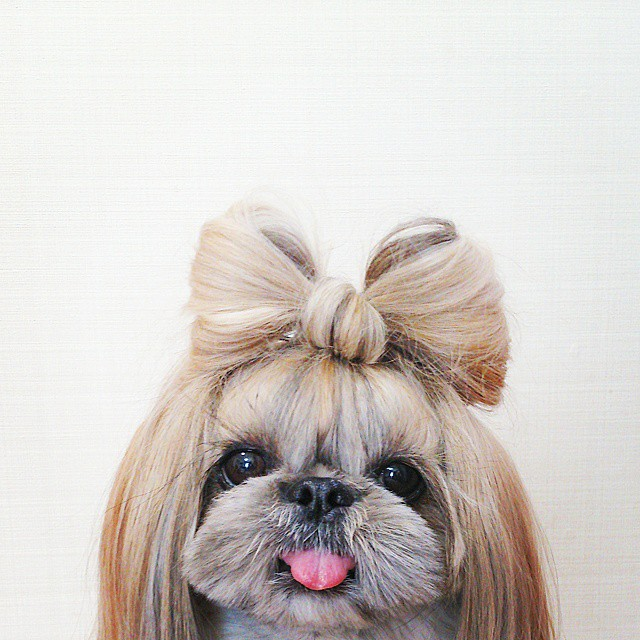 pekingese dog hairstyles kuma 8 The Most Fabulous Derpy Dog Hair on Instagram
