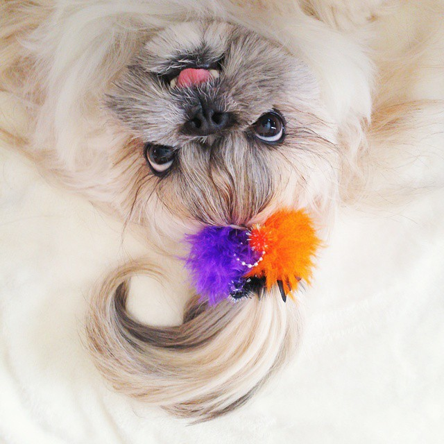 pekingese dog hairstyles kuma 9 The Most Fabulous Derpy Dog Hair on Instagram