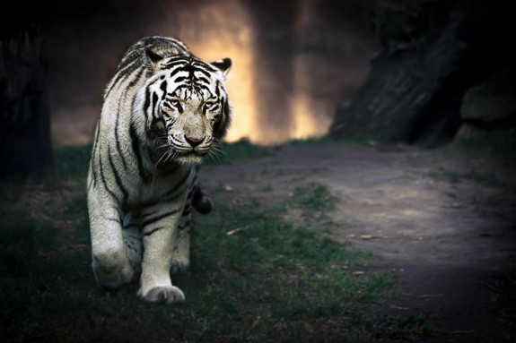 Beauty Shoot of white tiger Photography 15 Best Shoot of Animals Photography