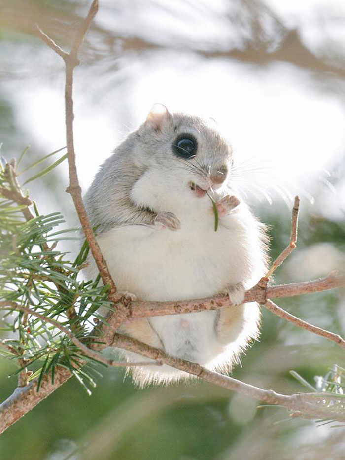 Cute Japanese And Siberian Flying Squirrels Flying Squirrels Are Probably The Cutest Animals On Earth