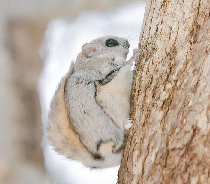 Cutest Flying Squirrels photo Flying Squirrels Are Probably The Cutest Animals On Earth