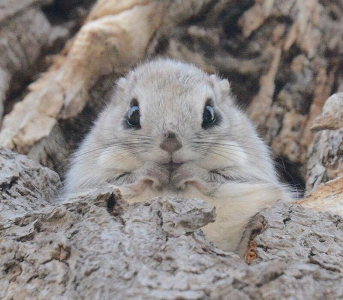 Cutest Flying Squirrels photos Flying Squirrels Are Probably The Cutest Animals On Earth