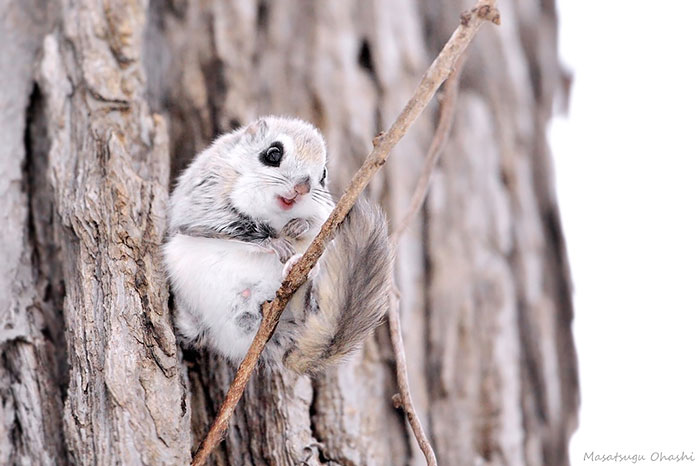Cutest Japanese And Siberian Flying Squirrels photo Flying Squirrels Are Probably The Cutest Animals On Earth
