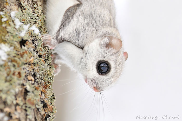 Cutest Japanese And Siberian Flying Squirrels Flying Squirrels Are Probably The Cutest Animals On Earth