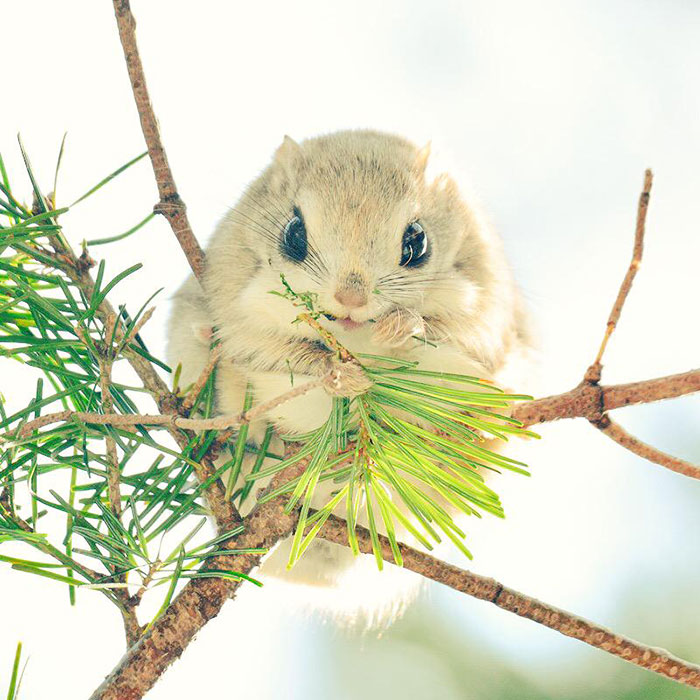 Cutest Japanese Flying Squirrels Flying Squirrels Are Probably The Cutest Animals On Earth