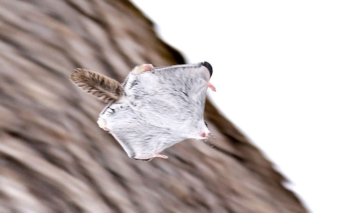 Cutest Japanese Flying Squirrels1 Flying Squirrels Are Probably The Cutest Animals On Earth