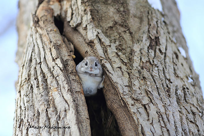 Cutest Siberian Flying Squirrels Flying Squirrels Are Probably The Cutest Animals On Earth