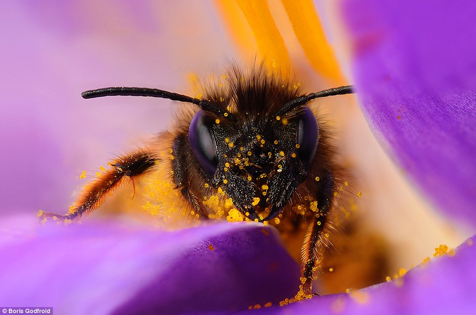 Detailed Bee Macro Photos Best Capturing Macro Photography of Bee