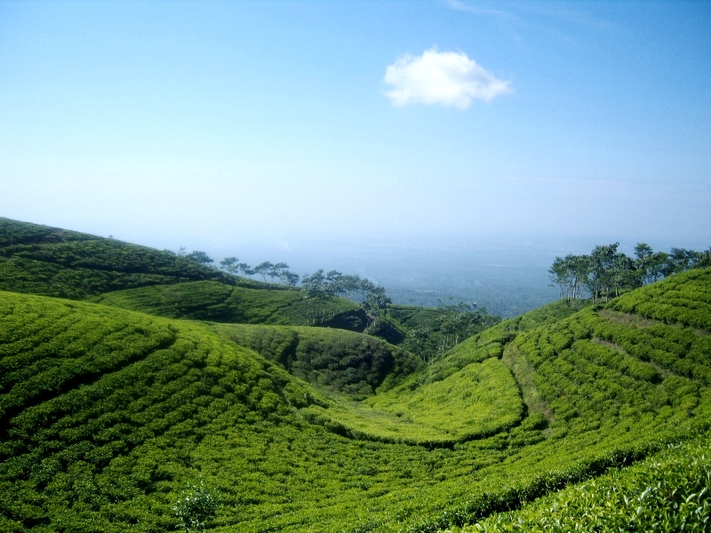 Tea gardens Gucialit Lumajang Most Beautiful Places should you know in Indonesia