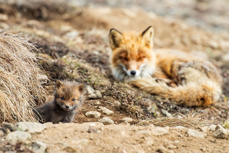 Amazing Foxes Photograph In The Arctic Circle by Ivan Kislov Best Photoshoot of Foxes Life In The Arctic Circle by Ivan Kislov