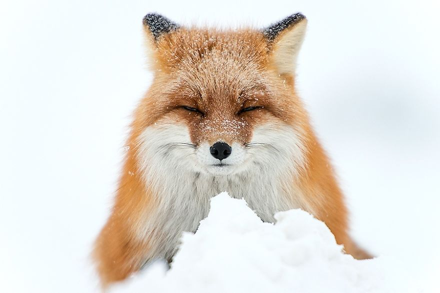 Amazing Foxes Photography In The Arctic Circle by Ivan Kislov