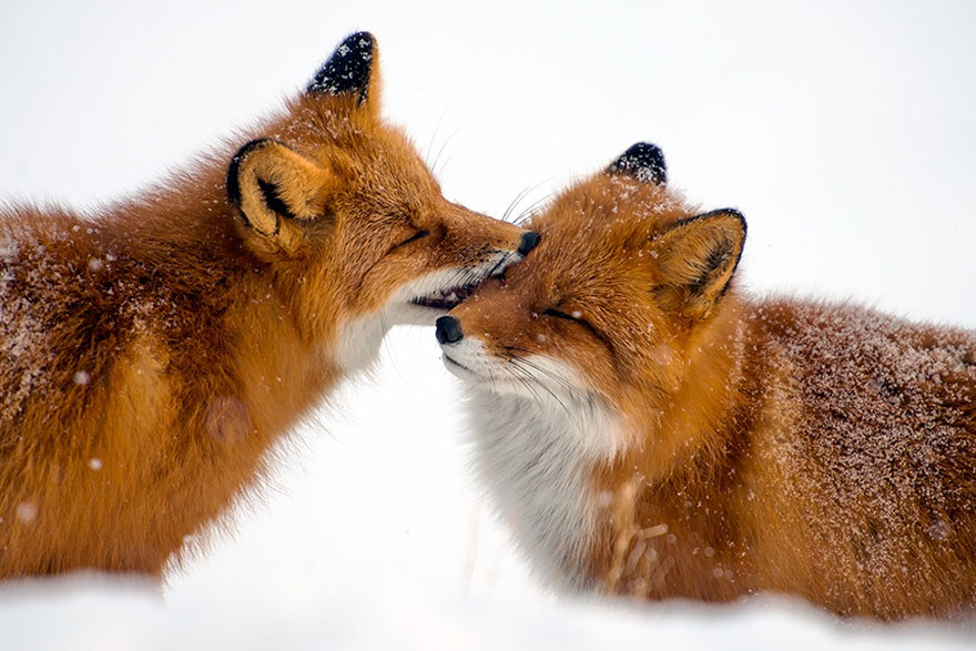 Beauty Foxes Photography In The Arctic Circle by Ivan Kislov 04 Best Photoshoot of Foxes Life In The Arctic Circle by Ivan Kislov