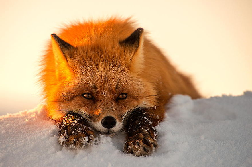 Beauty Foxes Photography In The Arctic Circle by Ivan Kislov 07