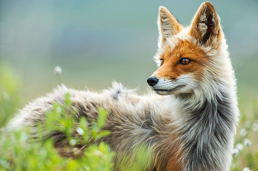 Beauty Foxes Photography In The Arctic Circle by Ivan Kislov Best Photoshoot of Foxes Life In The Arctic Circle by Ivan Kislov