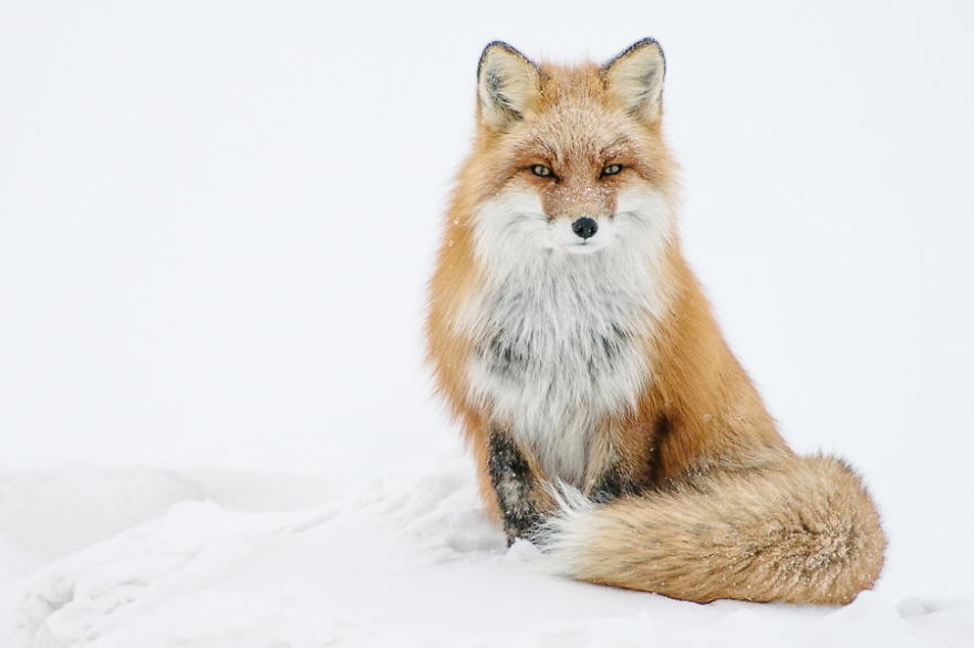 Best Foxes Photography In The Arctic Circle by Ivan Kislov