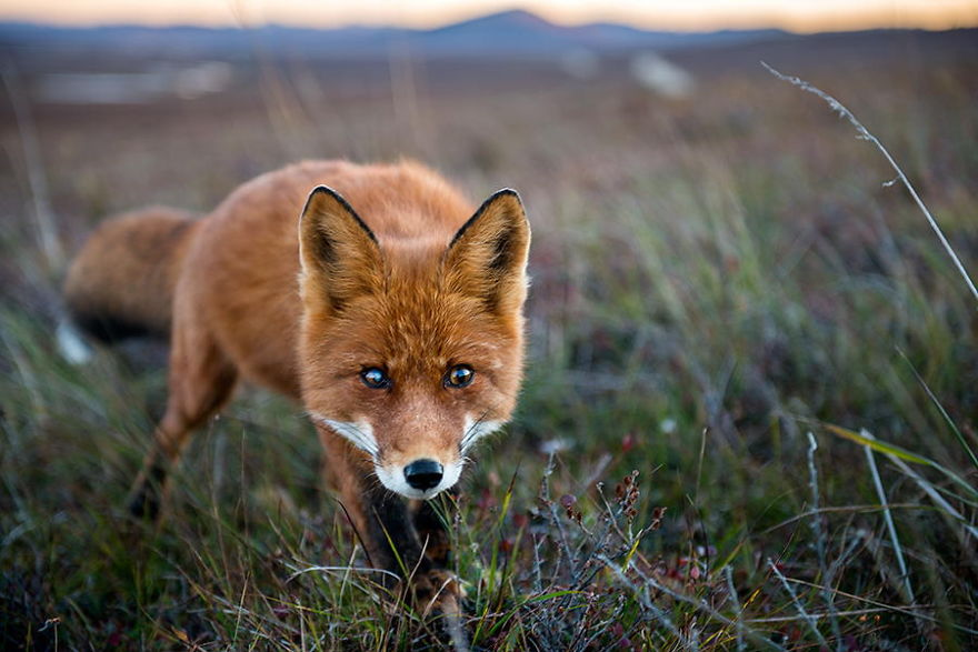 Best Foxes Photography In The Habitats Best Photoshoot of Foxes Life In The Arctic Circle by Ivan Kislov