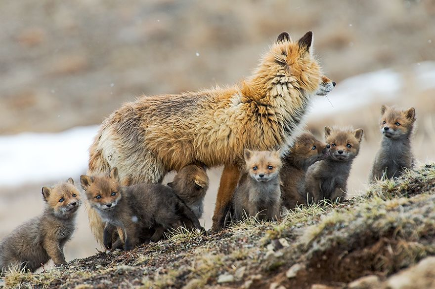 Best Photoshoot of Life Foxes Family In The Arctic Circle by Ivan Kislov