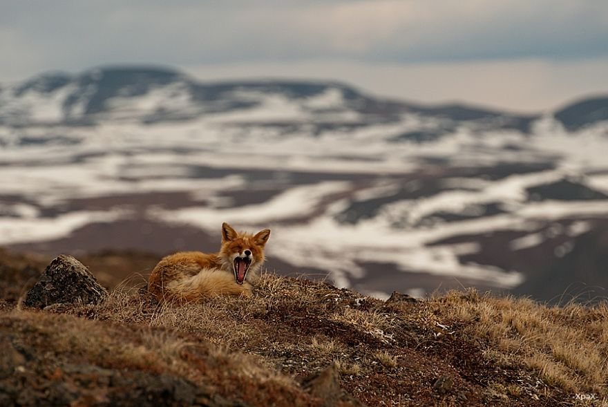 Best Photoshoot of Life Foxes In The Arctic Circle by Ivan Kislov 01 Best Photoshoot of Foxes Life In The Arctic Circle by Ivan Kislov