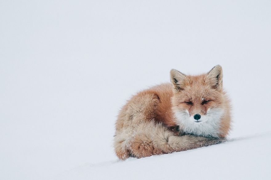 Best Photoshoot of Life Foxes In The Arctic Circle by Ivan Kislov 02