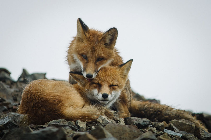 Best Photoshoot of Life Foxes In The Arctic Circle by Ivan Kislov 05 Best Photoshoot of Foxes Life In The Arctic Circle by Ivan Kislov