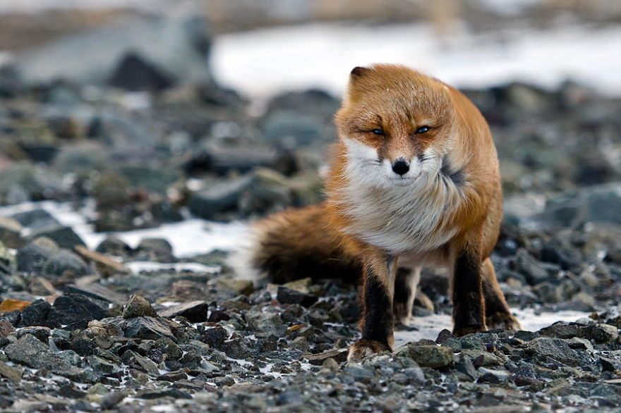 Foxes Photograph In The Arctic Circle by Ivan Kislov