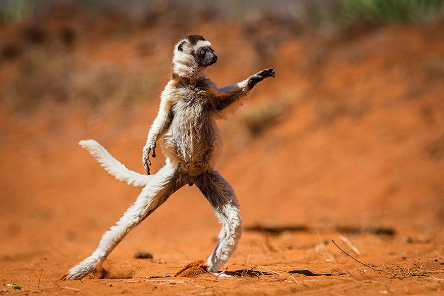 Funny Winners of the Comedy Wildlife Photography Awards 2015 01 13 Funny Winners of the Comedy Wildlife Photography Awards 2015