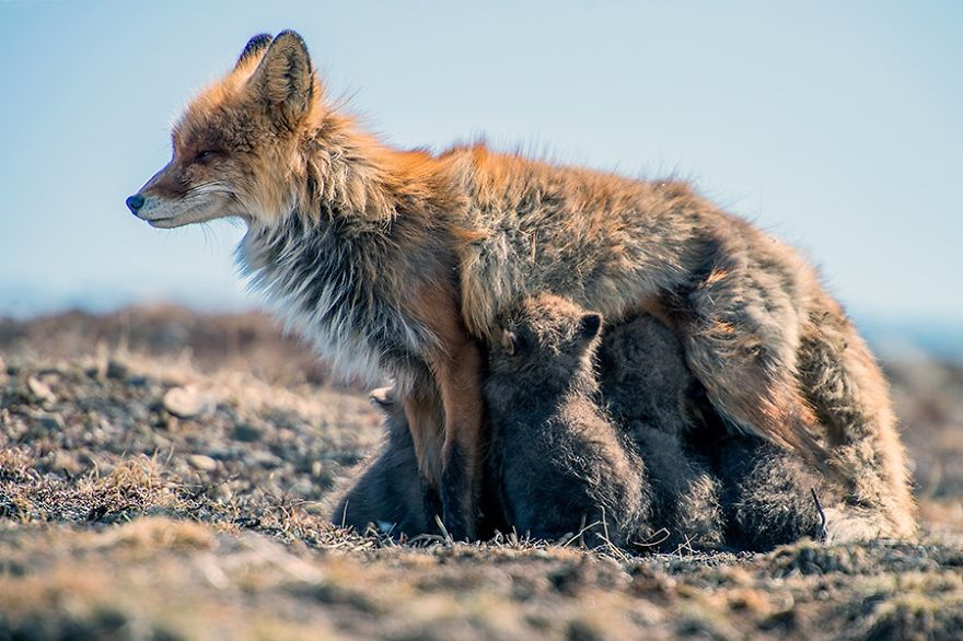 Life of Foxes Family In The Arctic Circle by Ivan Kislov Best Photoshoot of Foxes Life In The Arctic Circle by Ivan Kislov