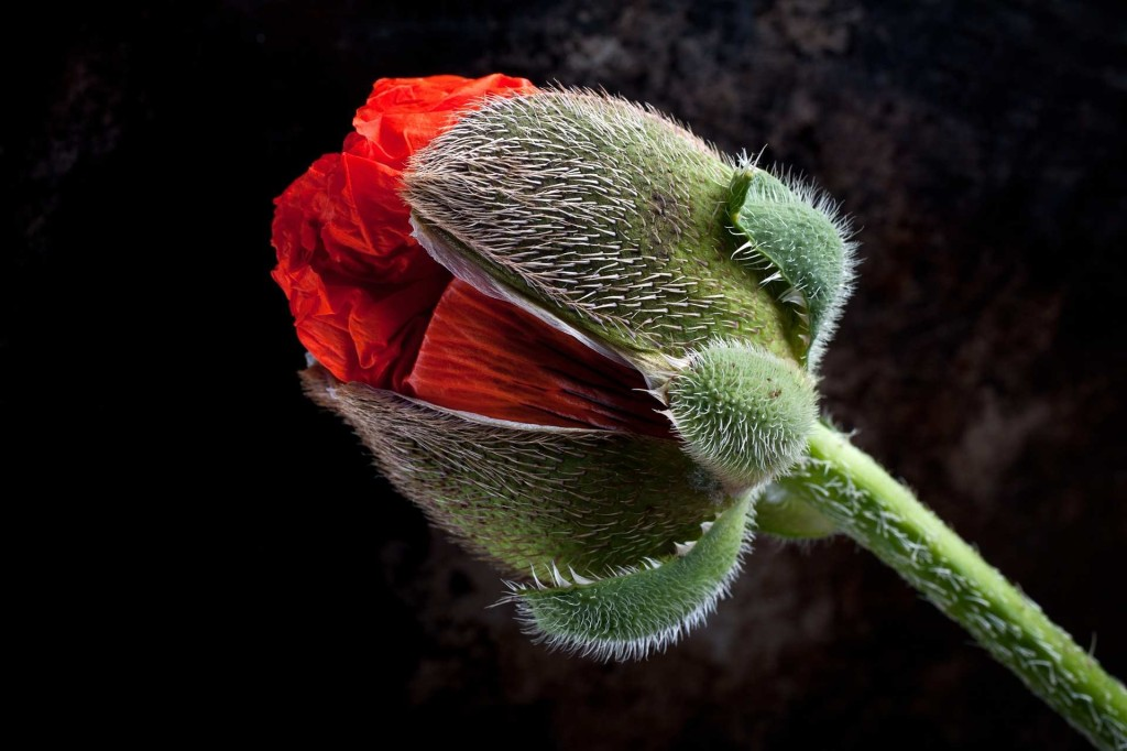 A close up of a giant poppy by Stuart Hall 01 1024x682 Winners of The International Garden Photographer of The Year