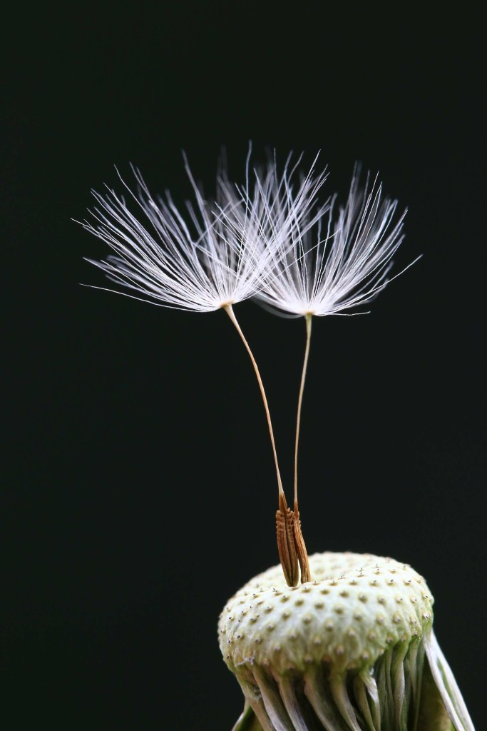 Minghui Yuan's macro shot of dandelion seeds 683x1024 Winners of The International Garden Photographer of The Year