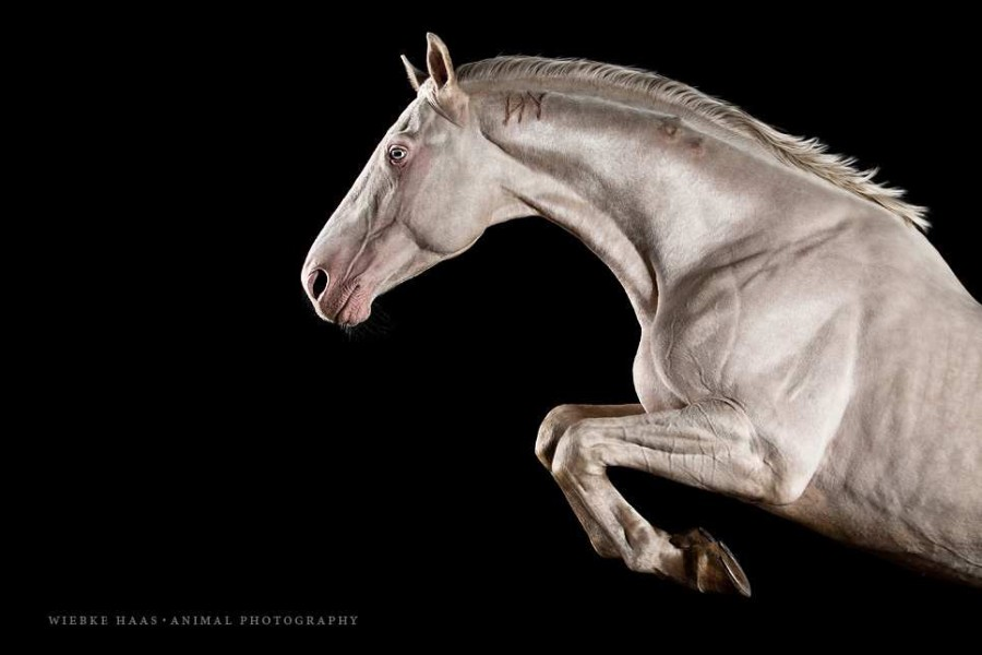 White Horse Portraits Photography by Wiebke Haas 4 Stunning Horse Portraits Photography by Wiebke Haas