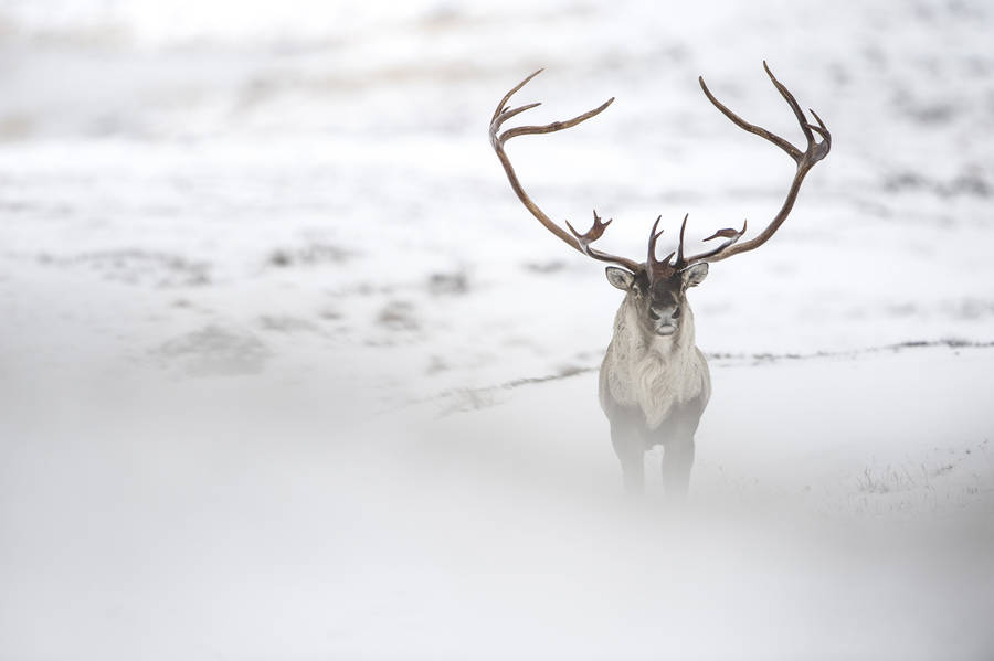 Fabuleux Beautiful Wildlife Photography by Vincent Munier | 99inspiration YH74